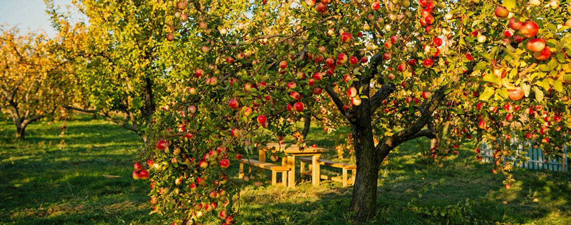 Apple tree with ripe fruits on branches.